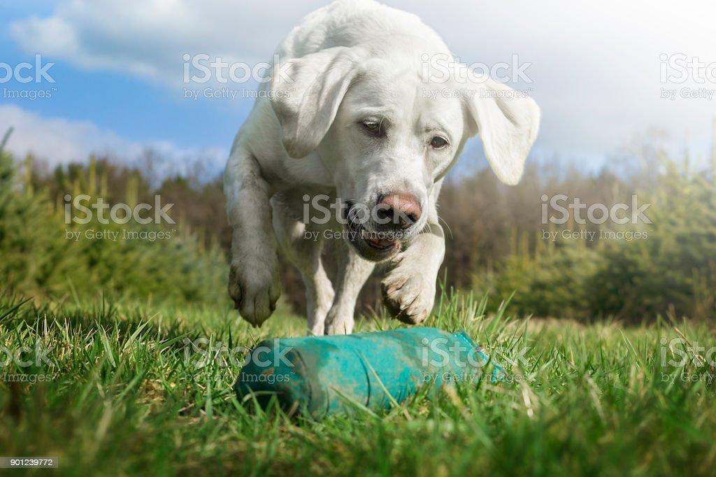 weißen Labrador Retriever Hund laufen und spielen mit Spielzeug auf Wiese – Foto