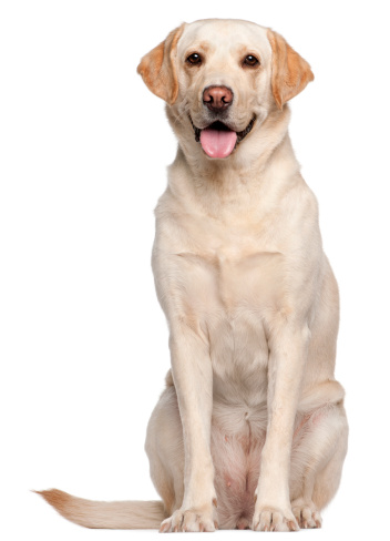 Labrador Retriever, four years old, sitting in front of white background.