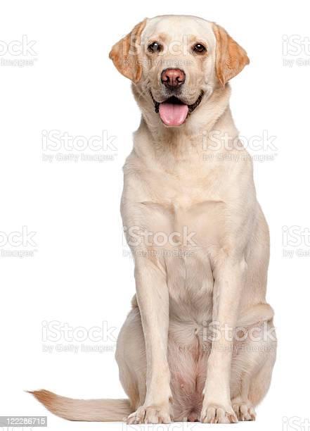 White labrador retriever on a white background picture id122286715?b=1&k=6&m=122286715&s=612x612&h=m2zrithuoaoouuviaozsfc4 sv0u57cnnnykoc23y74=