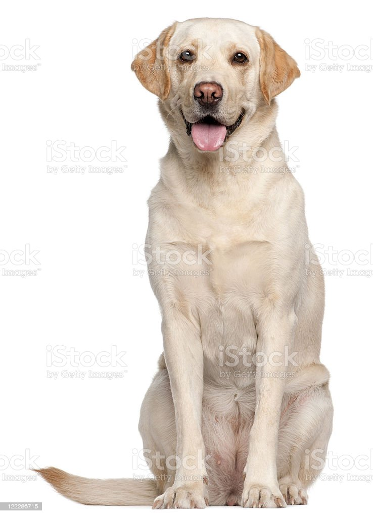 White Labrador retriever on a white background stock photo