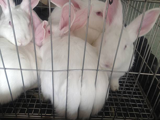 White Labrotary Rabbits Rabbits are labrotary in cage, mobile stock. animal testing stock pictures, royalty-free photos & images