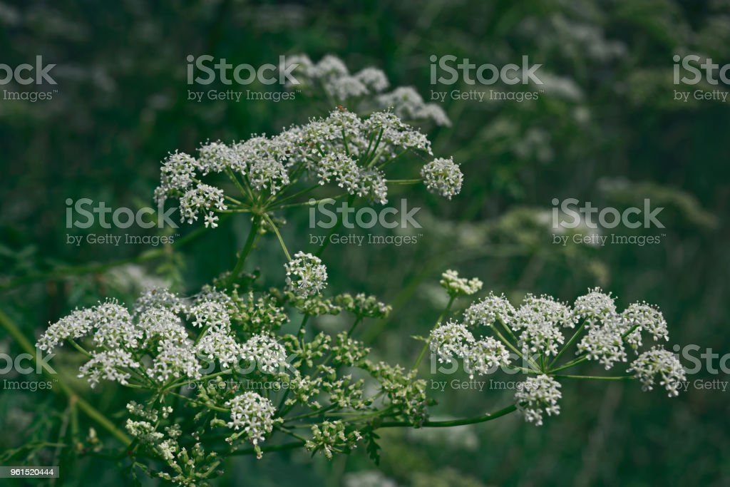 White lacy flowers of goutweed stock photo