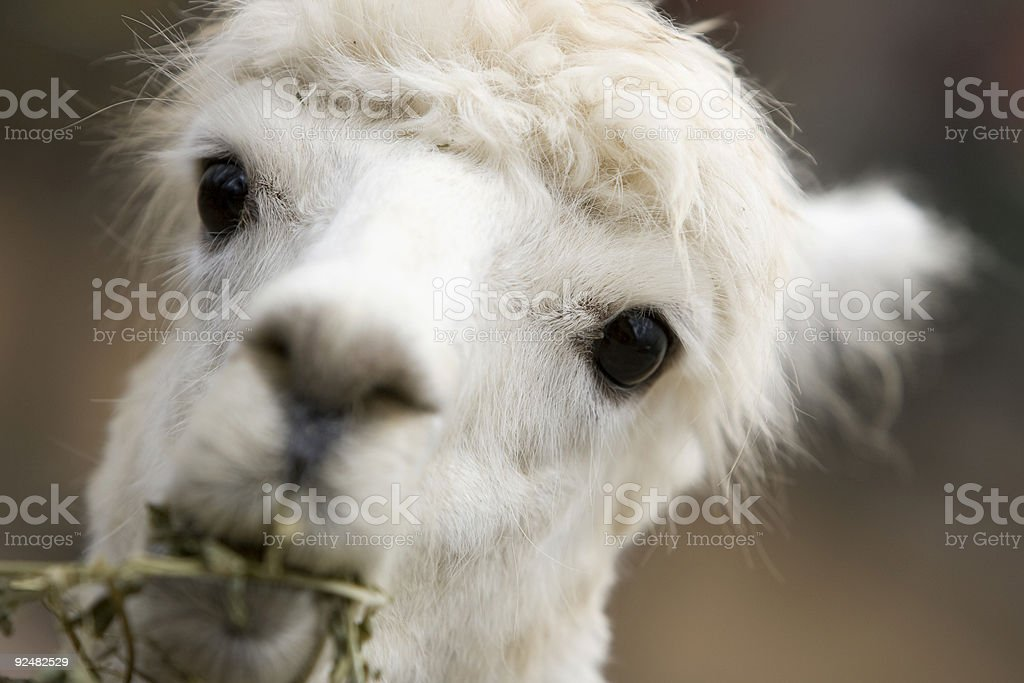 white lama close up royalty-free stock photo