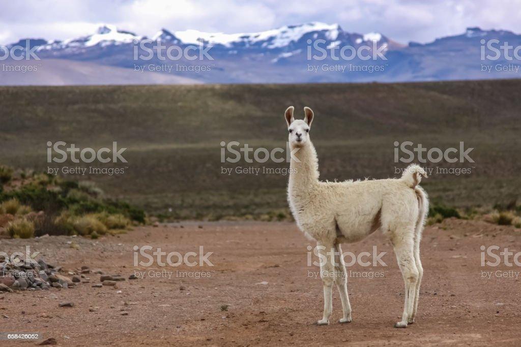 Weiße Lama im Altiplano Landschaft, Gebirge Hintergrund – Foto