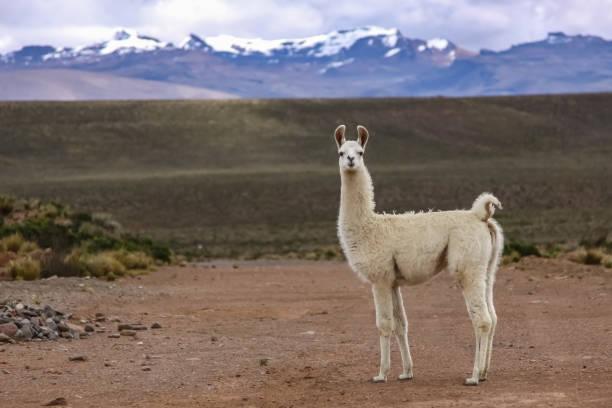 weiße lama im altiplano landschaft, gebirge hintergrund - lama kamelartige stock-fotos und bilder