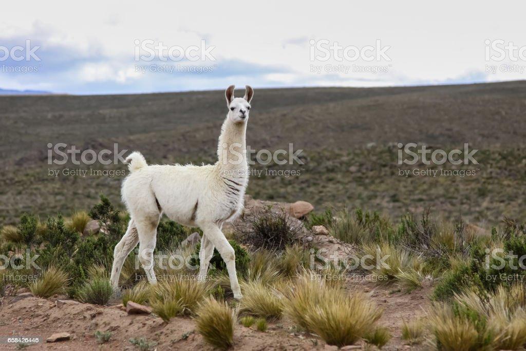 White Lama in Altiplano landscape, mountain range background – Foto