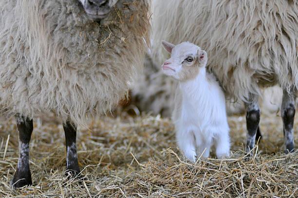 white-lamm - weißes lamm stock-fotos und bilder