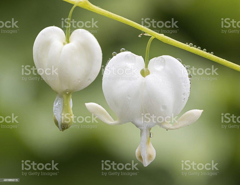 White Lamprocapnos spectabilis (bleeding heart) stock photo