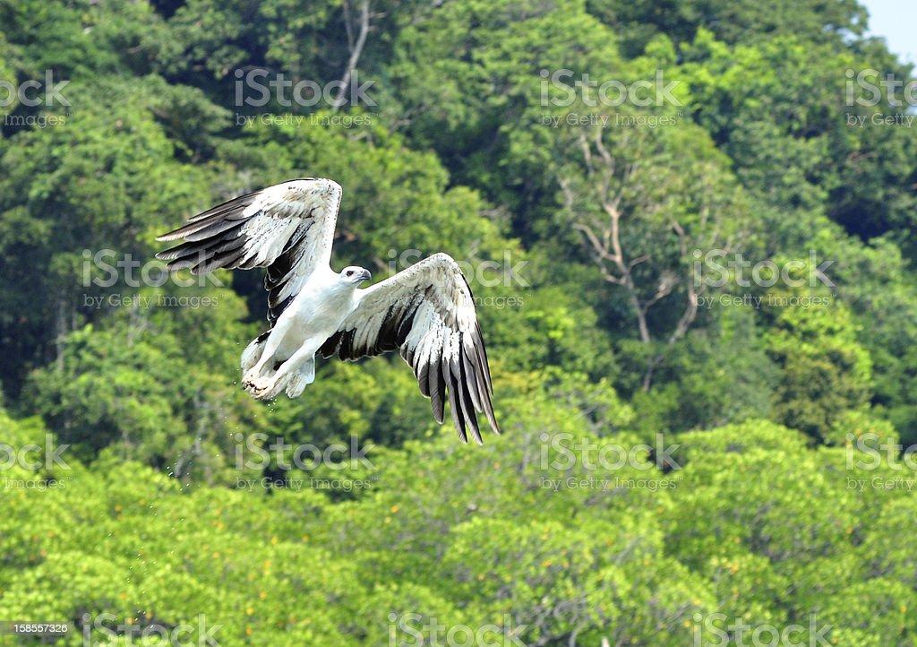 인명별 랑카위 sea eagle, 말레이시아 royalty-free 스톡 사진