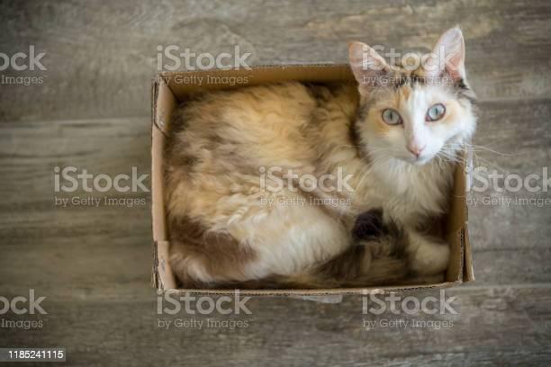 White laperm longhair cat sitting in a cardboard box and looking up picture id1185241115?b=1&k=6&m=1185241115&s=612x612&h=in4ocnyxzi7r43ycmkmv0utwnljwt2ecj42kpml8evy=