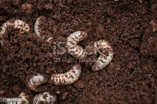 white Larvae of Otiorhynchus (sometimes Otiorrhynchus) on soil. Many of them e.i. black vine weevil or strawberry root weevil (O. ovatus) are important pest of plants.