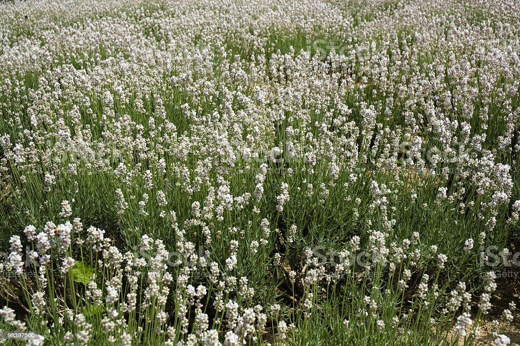White Lavender background in Hokkaido Japan royalty-free stock photo