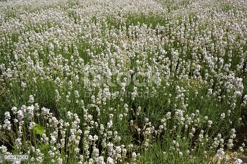 White Lavender Background In Hokkaido Japan Stock Photo & More Pictures of Agriculture