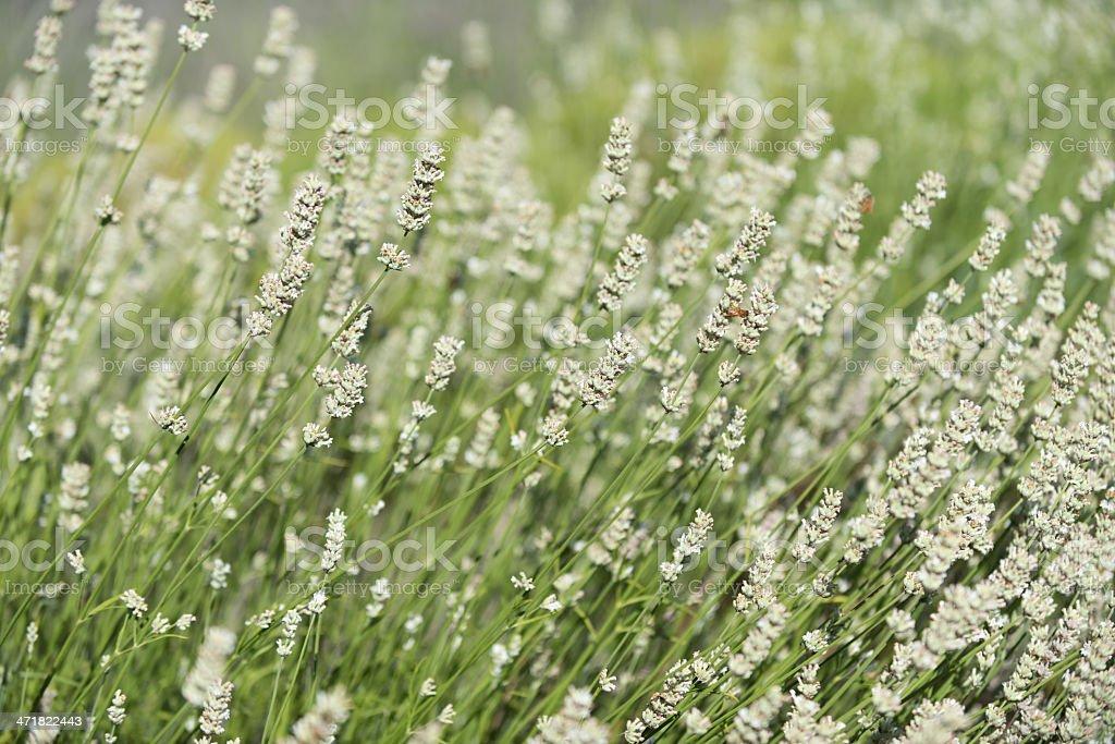 White Lavender Field royalty-free stock photo