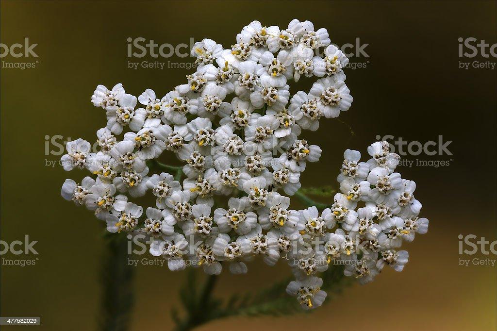 white leguminose    sambucus nigra royalty-free stock photo