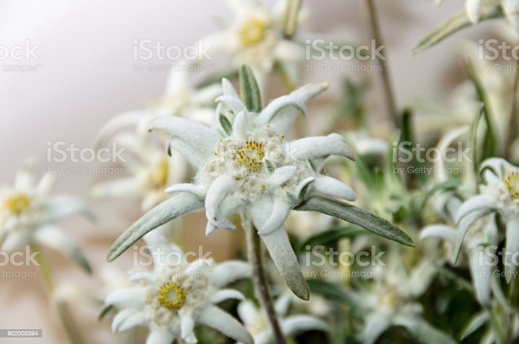 White Leontopodium nivale, edelweiss mountain flowers, close up stock photo