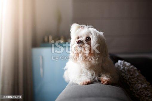 Cute white Lhasa Apso dog portrait