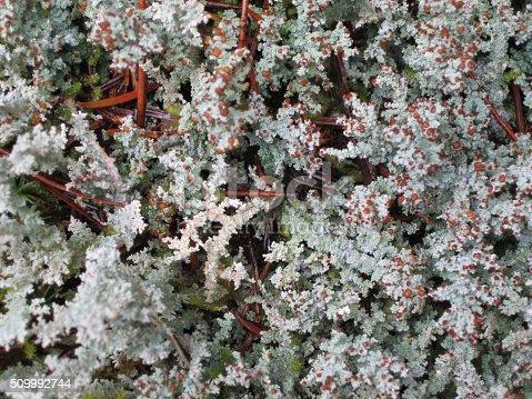 White Lichen fungus background