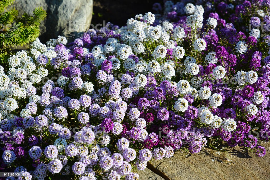 White, lilac and violet flowers alyssum on flowerbed in summer garden. stock photo