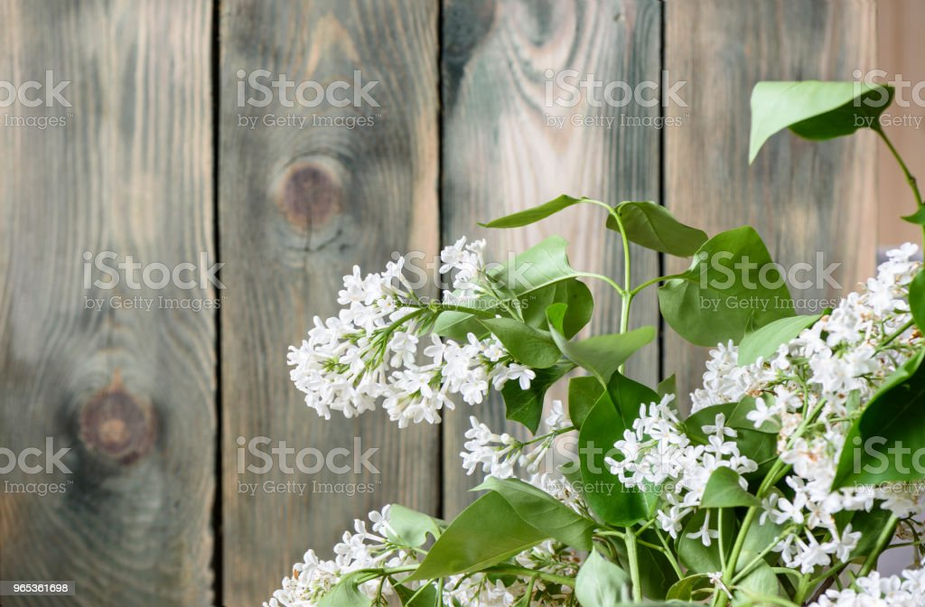 White lilac at an old fence zbiór zdjęć royalty-free