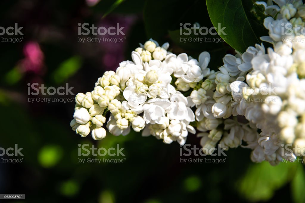 White lilac buds royalty-free stock photo