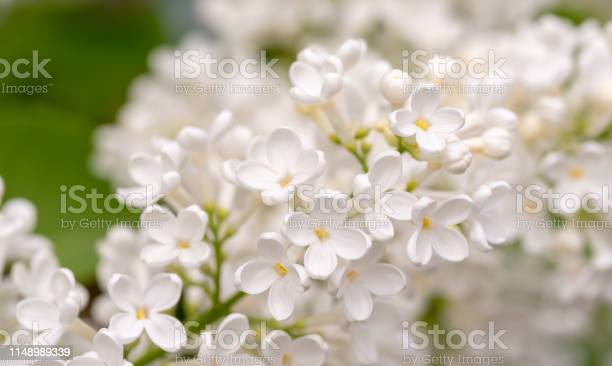 Photo of White Lilac Flowers