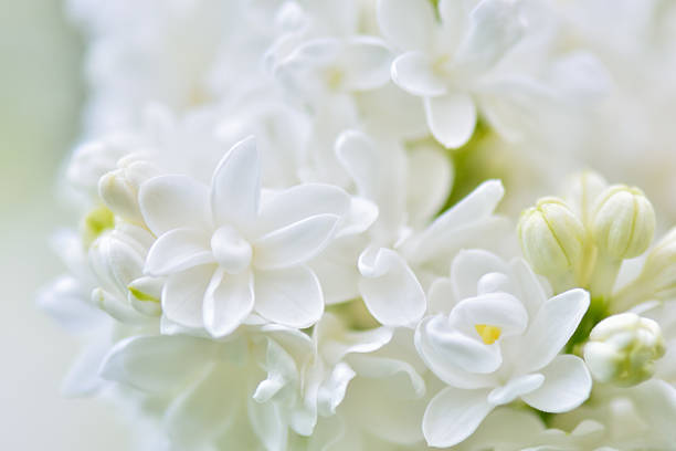 Royalty free white lilac pictures images and stock photos istock white lilac flowers soft background stock photo mightylinksfo