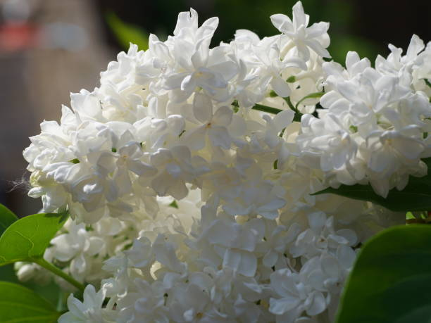 Royalty free white lilac pictures images and stock photos istock white lilac flowers with buds for a background spring garden syringe vulgaris stock photo mightylinksfo