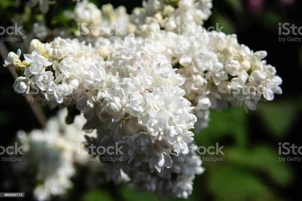 White lilac inflorescence in spring zbiór zdjęć royalty-free