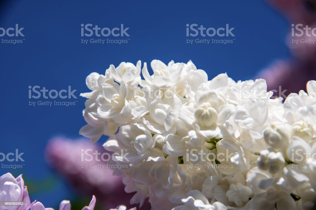 White lilac inflorescence on a sunny day in spring. royalty-free stock photo