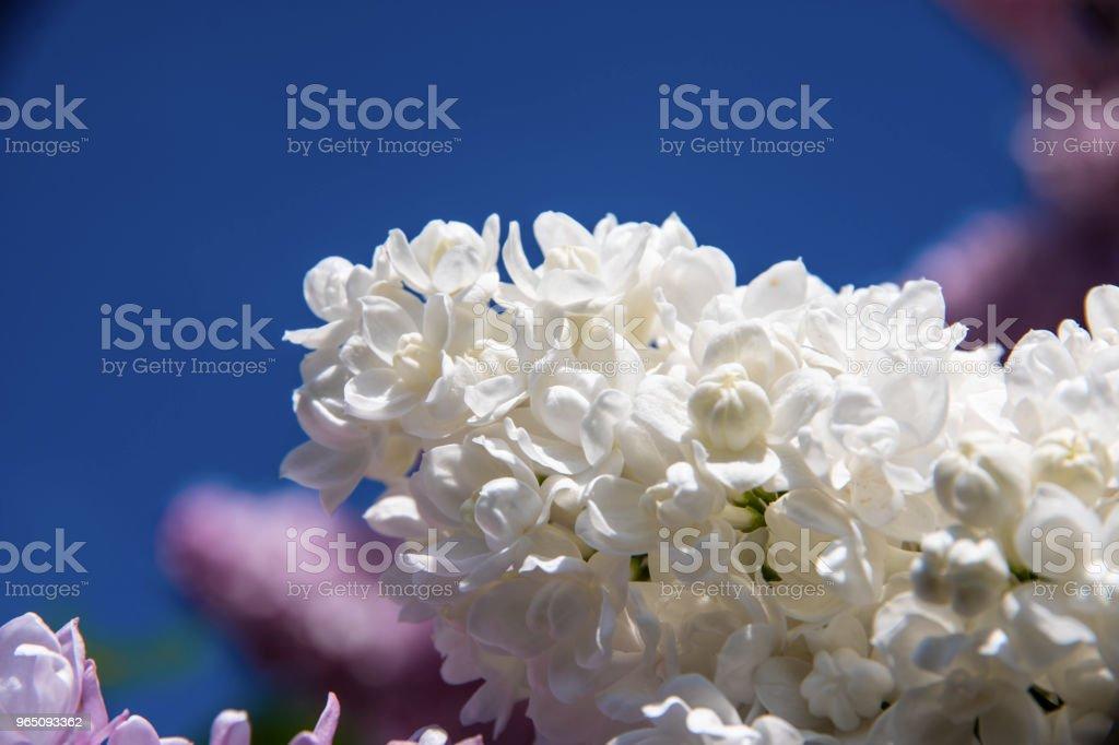 White lilac inflorescence on a sunny day in spring. zbiór zdjęć royalty-free