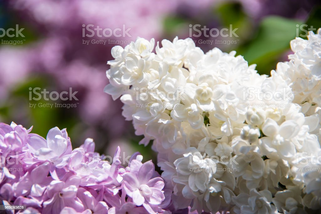 White lilac inflorescence royalty-free stock photo