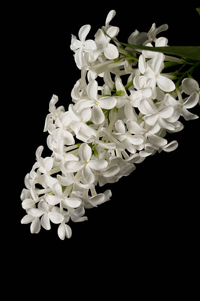 Royalty free white lilac pictures images and stock photos istock white lilac on black stock photo mightylinksfo