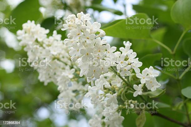 Photo of white lilac