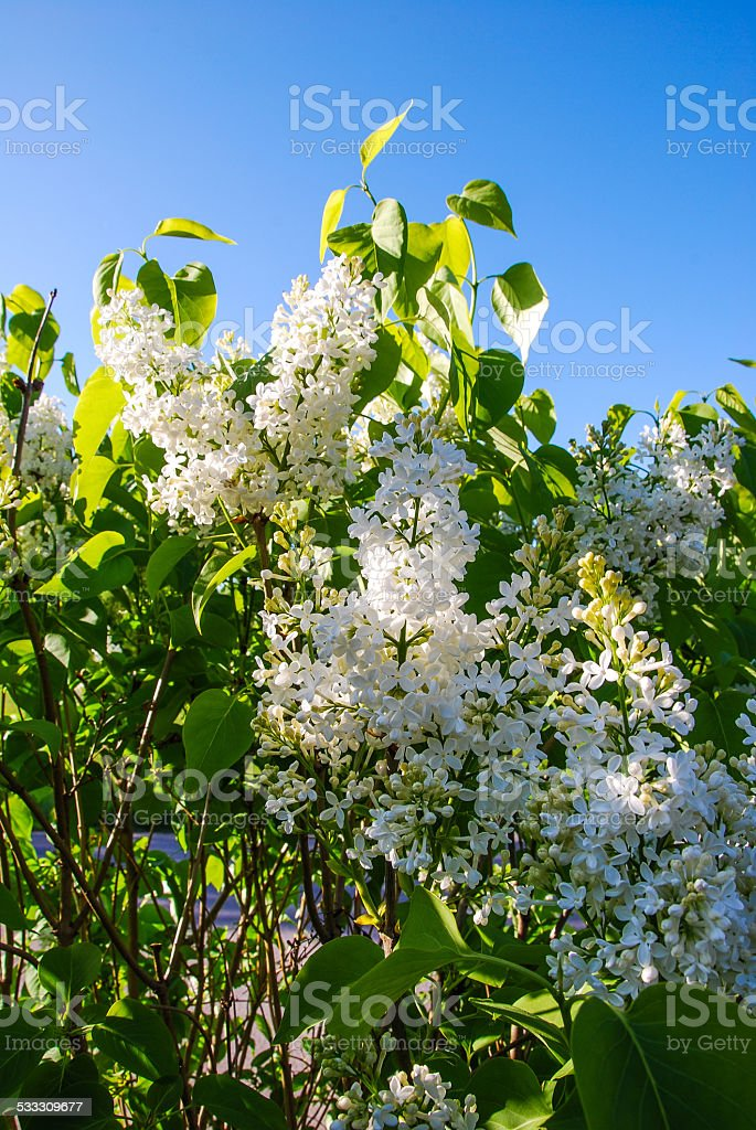 White lilac stock photo