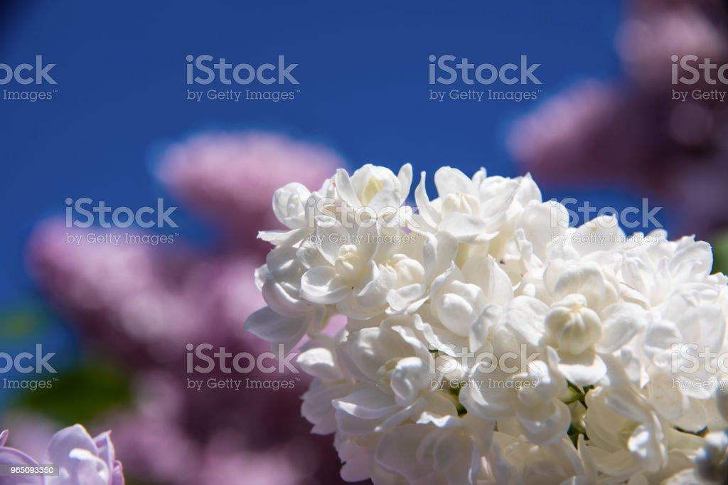 White lilac (Syringa vulgaris) royalty-free stock photo
