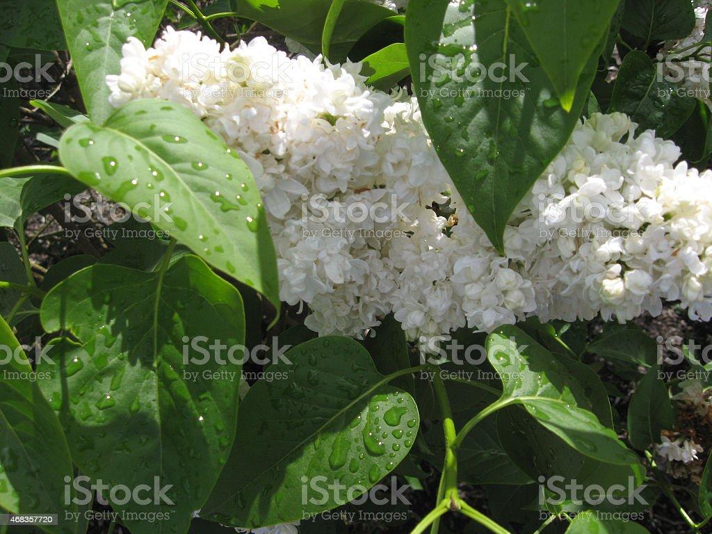 White Lilacs With Rain Drops royalty-free stock photo