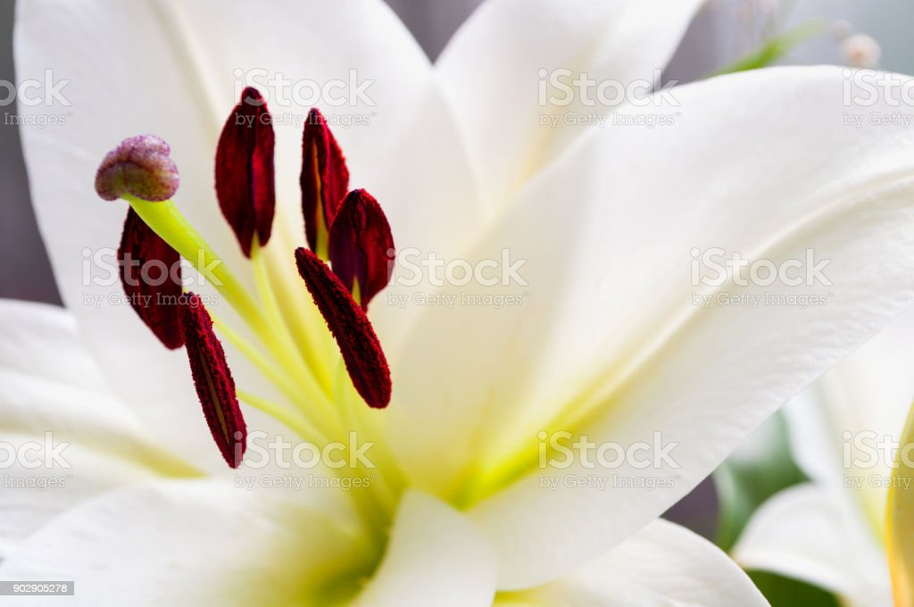 White lile flower, nature background stock photo