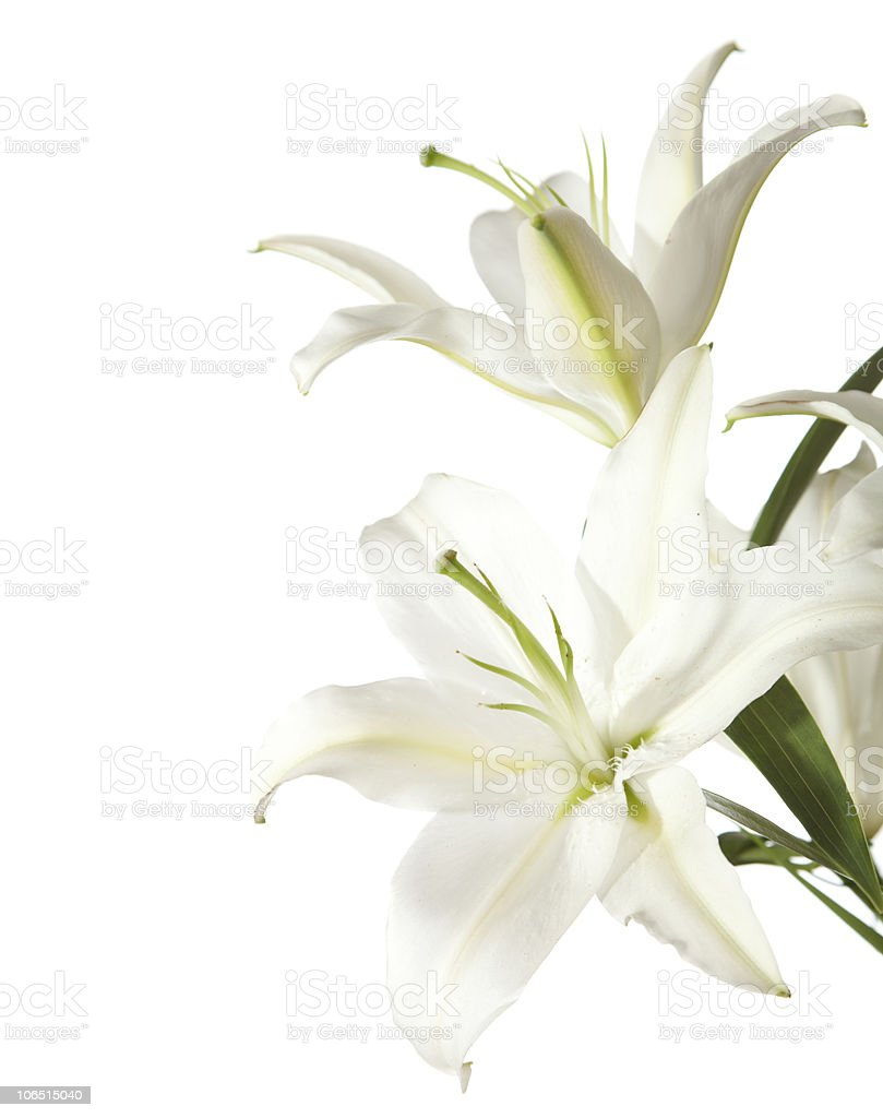 White lilies against a white background stock photo