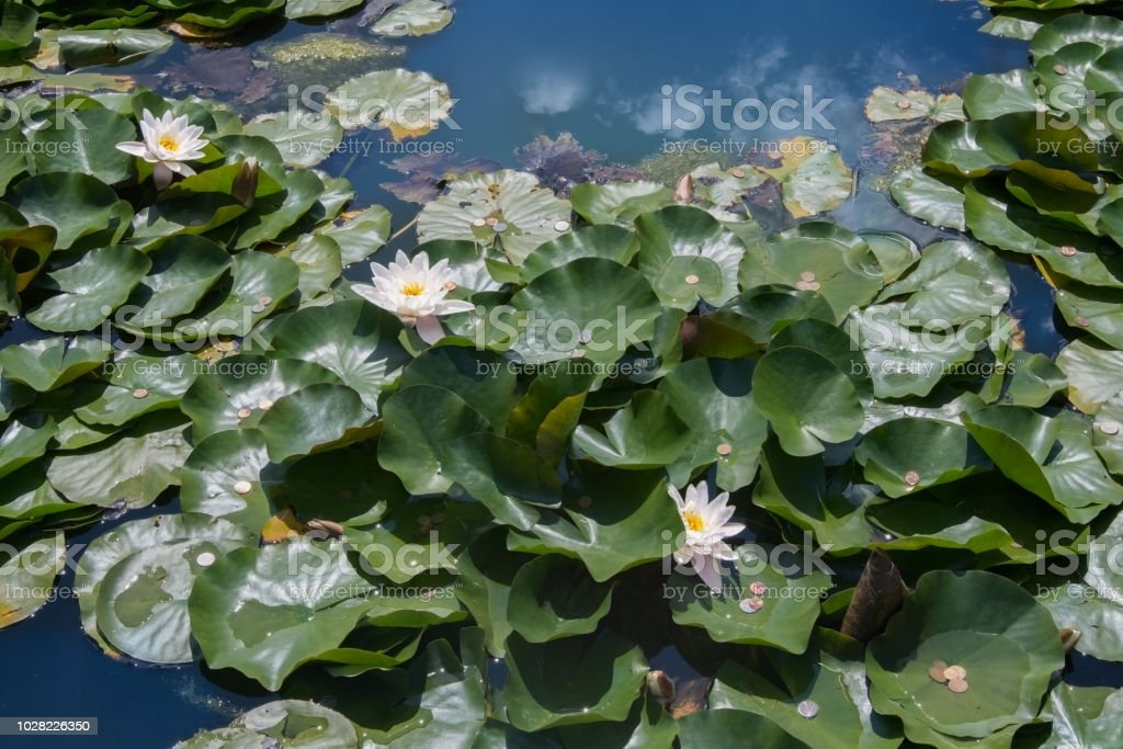 White lilies floating alongside the leaves on which there are shining coins stock photo