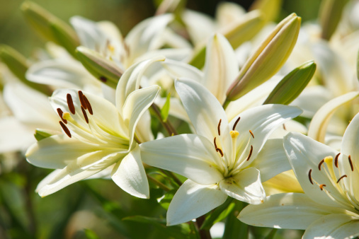 Many white lilies in a garden