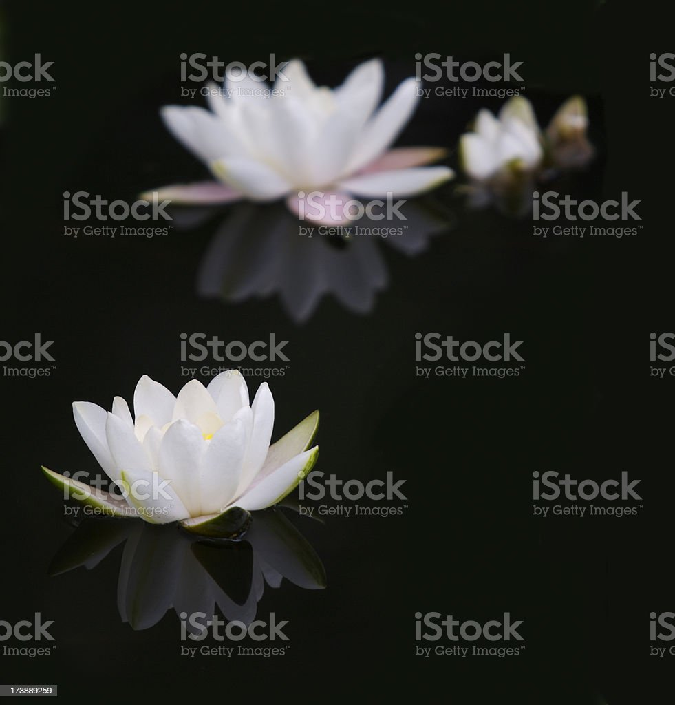 White lilies on a black pond royalty-free stock photo