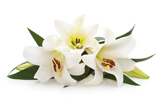 White Lilies. Isolated on white. lily stock pictures, royalty-free photos & images