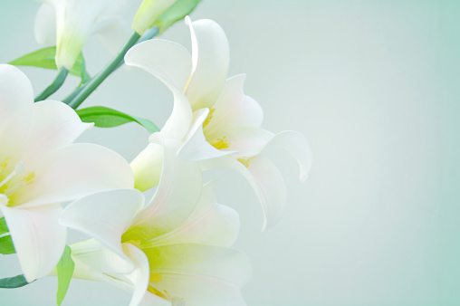 White lilies on isolated background