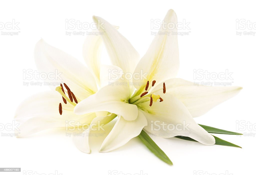 White lilies. stock photo