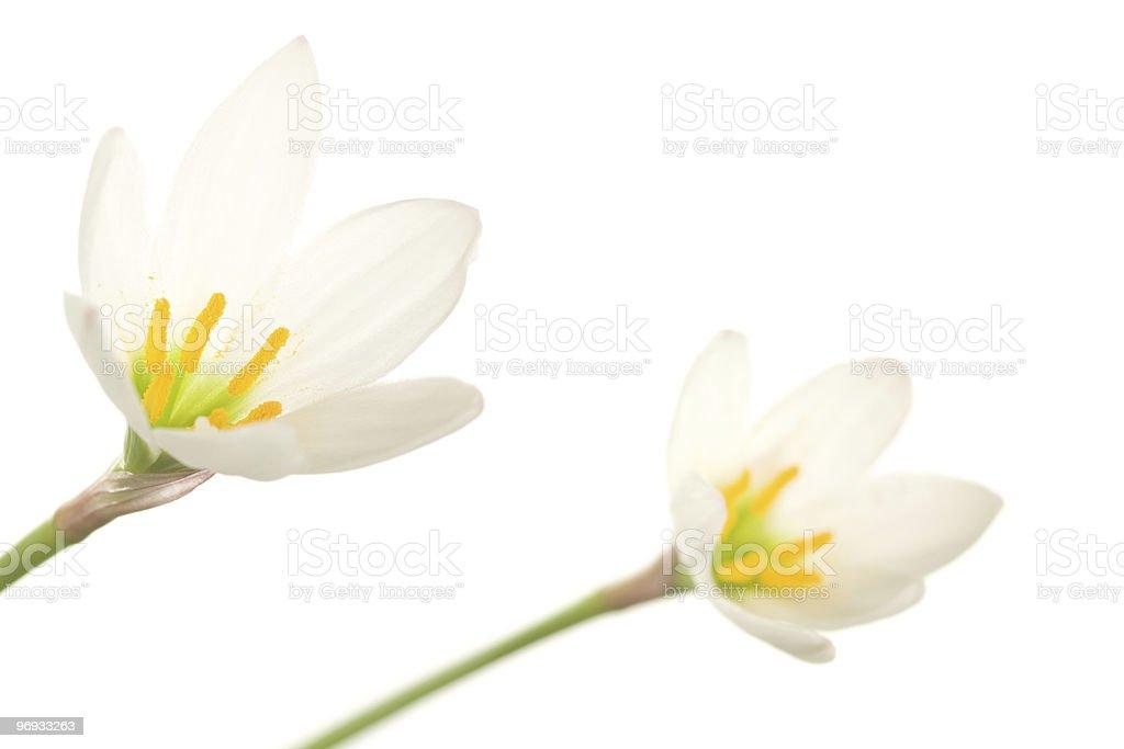white lilies royalty-free stock photo