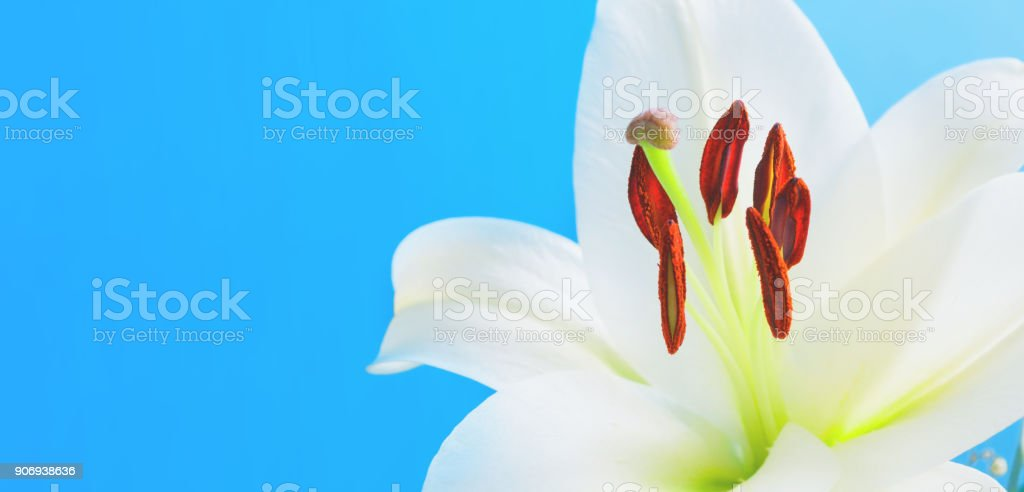 White lily flower, closeup of lily. Flower nature background stock photo
