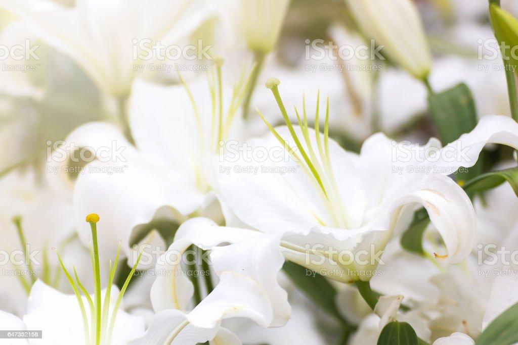 White lily flower in garden stock photo
