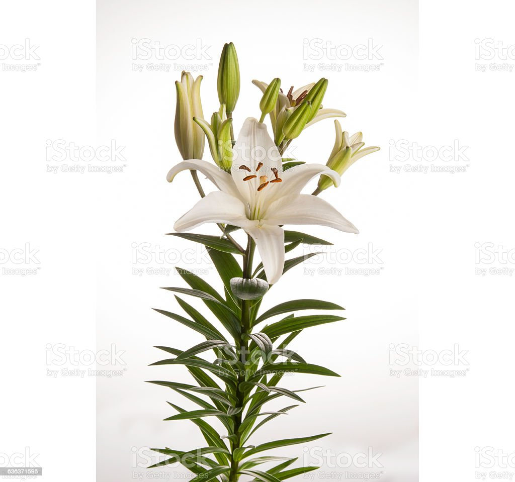 White Lily Flower Used For Funerals Too Cover The Smell Stock Photo