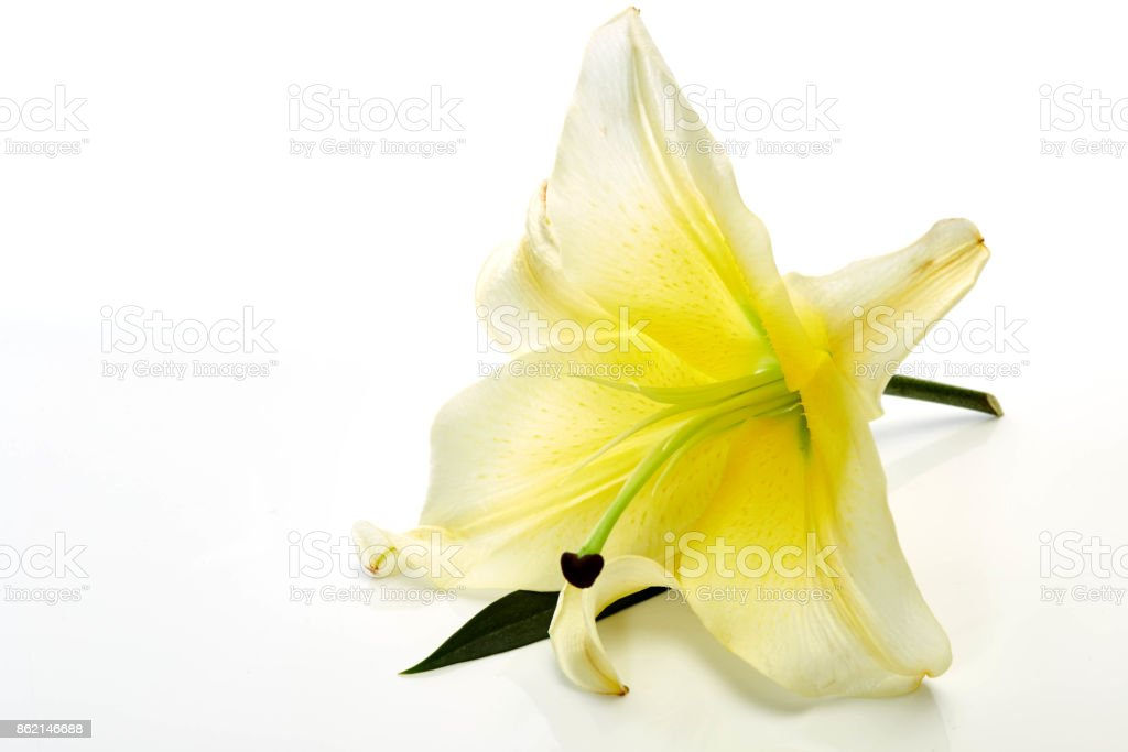 White lily flowers isolated on white background stock photo